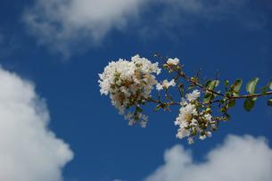 青空に咲く白い花の写真素材 [FYI02984550]