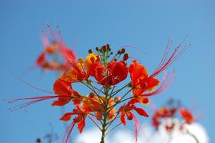 南国沖縄で咲く綺麗なオオゴチョウの写真素材 [FYI02984556]