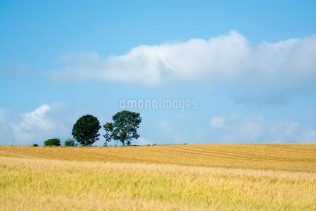 ムギ畑の丘に立つ三本の木 美瑛町の写真素材 [FYI02984577]