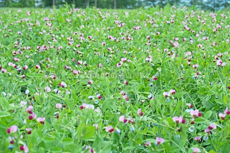 花が満開のえんどう豆畑の写真素材 [FYI02984579]