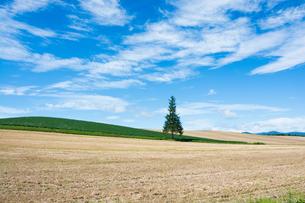 畑の中に立つマツの木 美瑛町の写真素材 [FYI02984581]