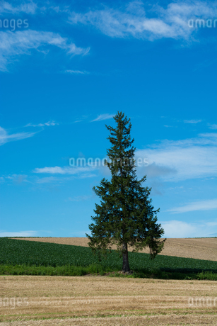 畑の中に立つマツの木 美瑛町の写真素材 [FYI02984582]