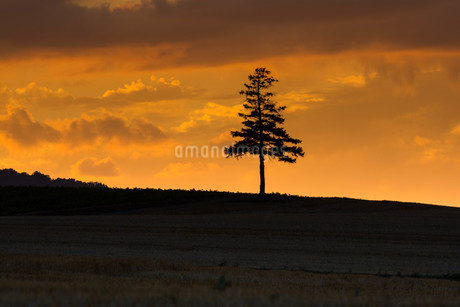 夕暮れの空と松の木 美瑛町の写真素材 [FYI02984590]