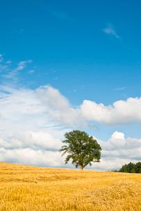 刈り取りが終わったムギ畑と大きな木 美瑛町の写真素材 [FYI02984596]