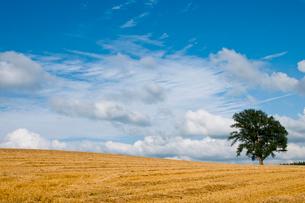 刈り取りが終わったムギ畑と大きな木 美瑛町の写真素材 [FYI02984597]