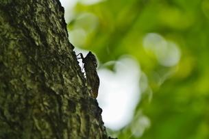 木に止って鳴くアブラゼミの写真素材 [FYI02984628]