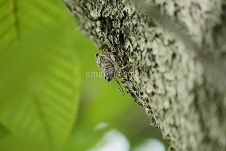木に止るニイニイゼミの写真素材 [FYI02984629]