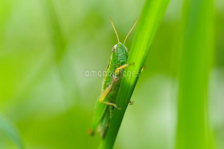 草むらに潜むバッタの写真素材 [FYI02984631]