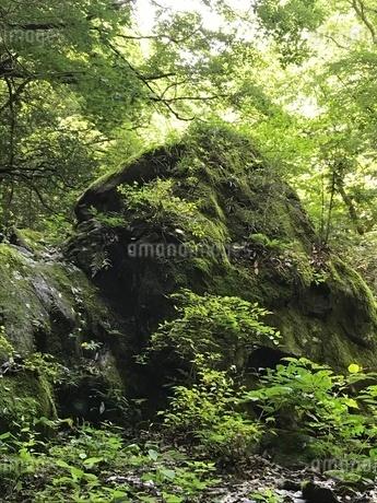苔むす岩の写真素材 [FYI02984654]