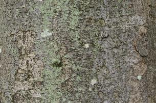 ケヤキの樹皮の写真素材 [FYI02984706]