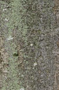 ケヤキの樹皮の写真素材 [FYI02984707]