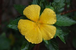 黄色の花に雨の水滴が残っているの写真素材 [FYI02984766]