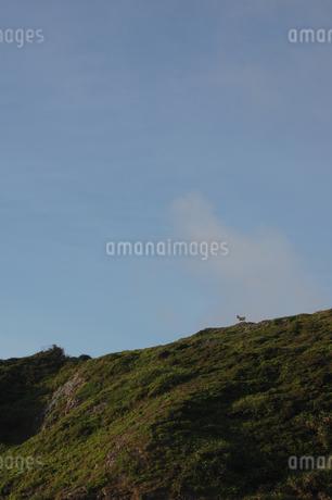 快晴の空と緑の丘に一頭の野生の山羊の写真素材 [FYI02984769]