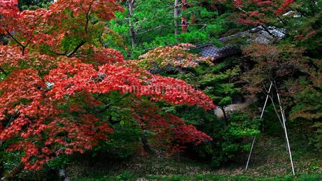 赤く染まった楓の葉が鮮やかな日本庭園の秋の風景の写真素材 [FYI02984795]