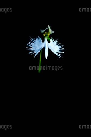 サギ草の写真素材 [FYI02984797]