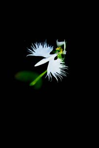 サギ草の写真素材 [FYI02984798]