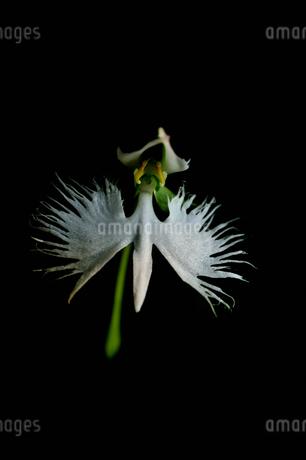 サギ草の写真素材 [FYI02984799]