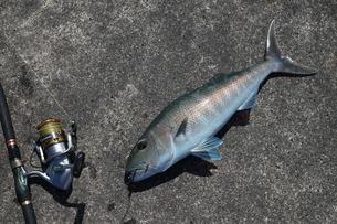 母島で釣れたアオチビキの写真素材 [FYI02985164]