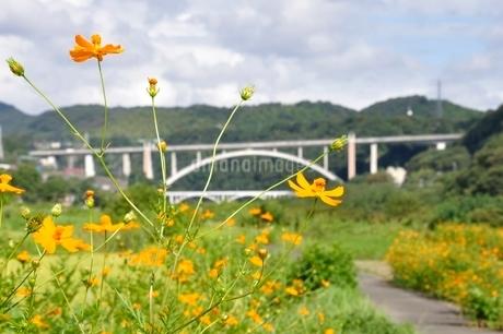 キバナコスモスと新小倉橋の写真素材 [FYI02985219]