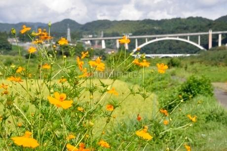 キバナコスモスと新小倉橋の写真素材 [FYI02985220]