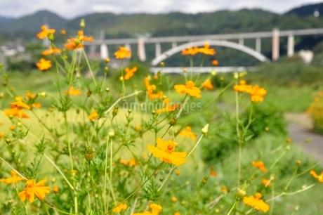 キバナコスモスと新小倉橋の写真素材 [FYI02985221]