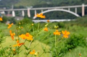 キバナコスモスと新小倉橋の写真素材 [FYI02985222]