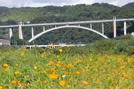 キバナコスモスと新小倉橋の写真素材 [FYI02985227]