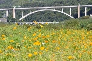 キバナコスモスと新小倉橋の写真素材 [FYI02985228]