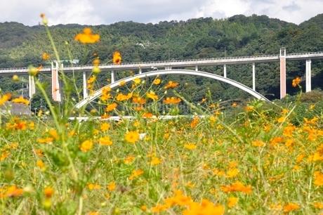キバナコスモスと新小倉橋の写真素材 [FYI02985229]