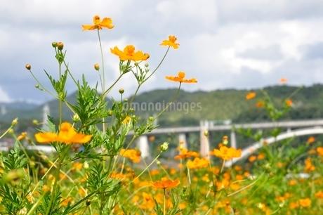 キバナコスモスと新小倉橋の写真素材 [FYI02985230]
