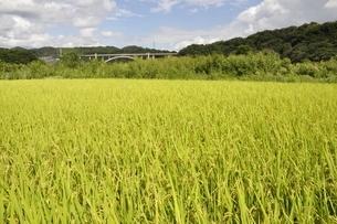 稲穂と新小倉橋の写真素材 [FYI02985242]