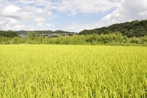 稲穂と新小倉橋の写真素材 [FYI02985243]