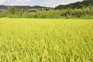 稲穂と新小倉橋の写真素材 [FYI02985244]