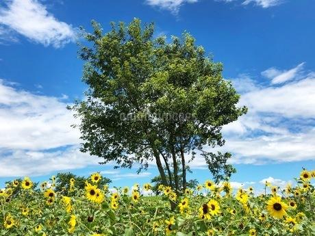 青い空とひまわりの写真素材 [FYI02985253]
