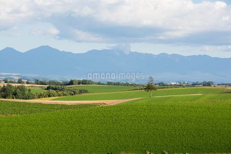 緑の畑に立つマツの木 美瑛町の写真素材 [FYI02985280]