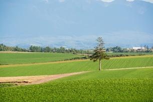 緑の畑に立つマツの木 美瑛町の写真素材 [FYI02985281]