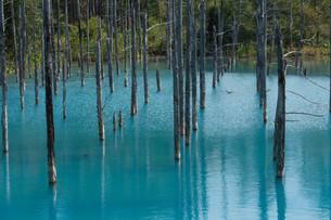 夏の青い池 美瑛町の写真素材 [FYI02985286]