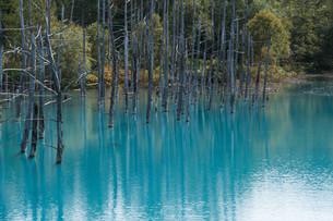 夏の青い池 美瑛町の写真素材 [FYI02985290]
