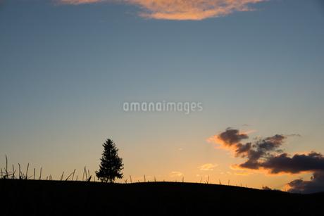 夕暮れの丘に立つ松の木 美瑛町の写真素材 [FYI02985292]