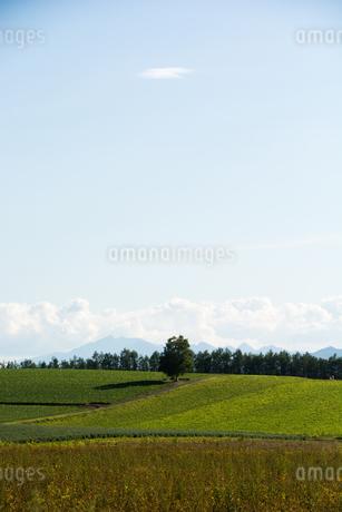 緑の畑とシラカバの木の写真素材 [FYI02985308]