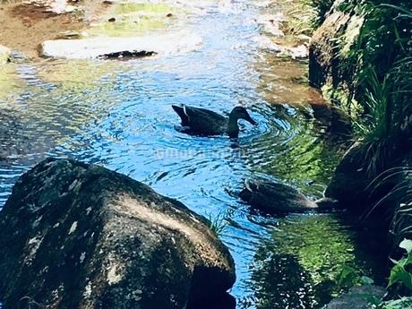 池のような川で見つけた二羽のカモの写真素材 [FYI02985361]