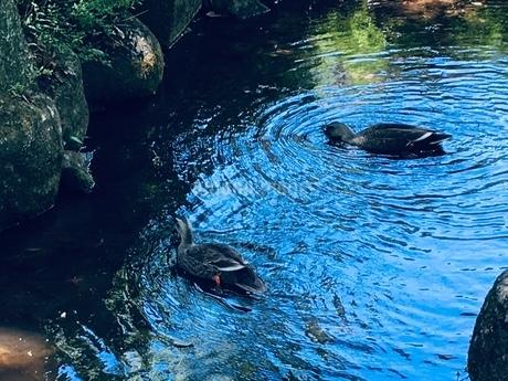 池のような川で見つけた二羽のカモの写真素材 [FYI02985362]