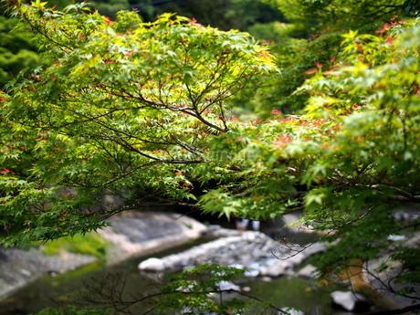 5月の清流と楓の写真素材 [FYI02985363]