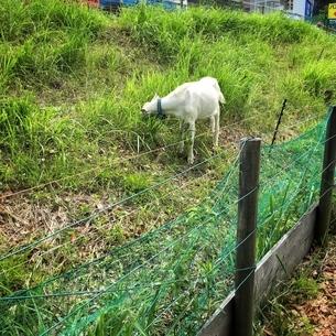 近くで見るとすごくかわいいヤギの写真素材 [FYI02985380]