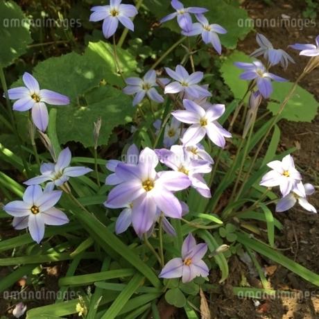 春の陽を浴びるかわいい花の写真素材 [FYI02985456]