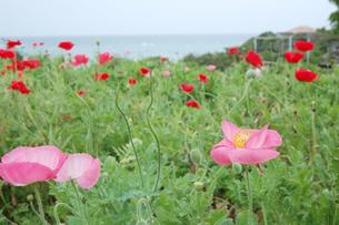海が見える場所に赤とピンクの花が咲いているの写真素材 [FYI02985503]