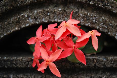 ブロックの隙間から咲く赤い花の写真素材 [FYI02985517]