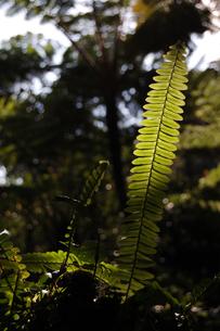 ジャングルのシダに日が当たるの写真素材 [FYI02985529]