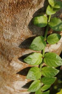 木に這うツル植物の写真素材 [FYI02985530]