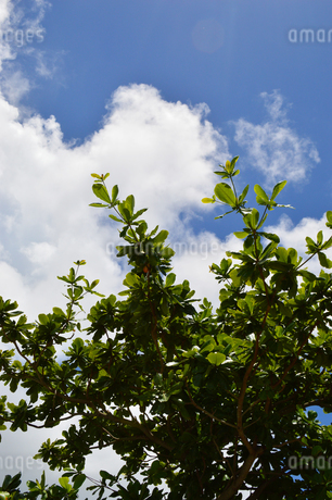 快晴の空に伸びる南国の葉の写真素材 [FYI02985632]